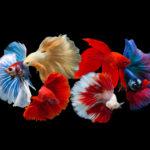 熱帯魚「ベタ」の種類一覧!おすすめの種類は何!?