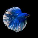魚のベタの飼育に最適な水温はどれくらい!?夏冬の対策は!?