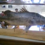 大型の肉食魚アカメ!どんな魚!?