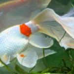 金魚「コメット」の種類は?その魅力とは!?