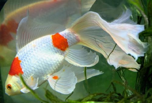 コメット 金魚 種類