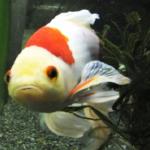 金魚「コメット」の飼育!最適な水温はどれくらい!?