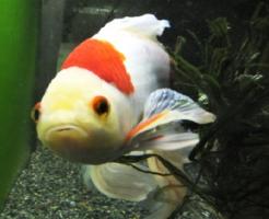 コメット 金魚 水温