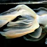 金魚の「コメット」!大きさや特徴について!