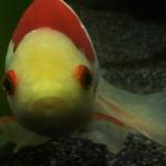 金魚「コメット」の飼育にヒーターは必要!?使い方は!?