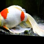 金魚「コメット」の販売価格ってどれくらい!?