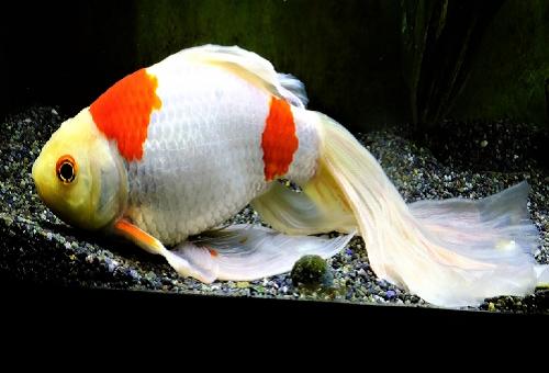 コメット金魚 価格