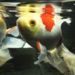 金魚とコメットの違いは何!?混泳ってできるの!?