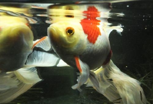 コメット金魚 混泳 違い