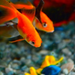 カマツカの混泳飼育について!金魚やエビは混泳できる?