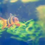クラウンローチは水槽に発生した貝を食べてくれる!?