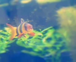 クラウンローチ 貝 食べる