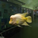熱帯魚のフラワーホーン!飼育方法やコツは?