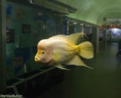 フラワーホーン 熱帯魚 飼育 コツ
