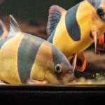クラウンローチってどんな熱帯魚?大きさや特徴は?