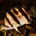 ダトニオプラスワンとの混泳におすすめの熱帯魚は何!?
