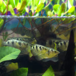 ダトニオの幼魚!飼育方法や餌は?
