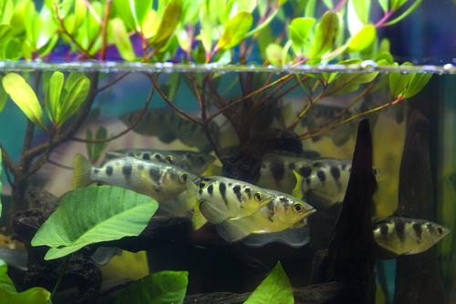 ダトニオ 幼魚 飼育