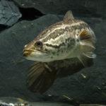 熱帯魚のスネークヘッド!小型の種類は?