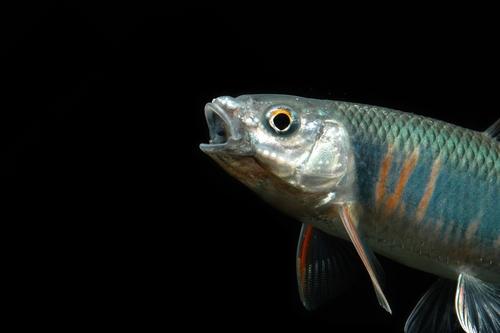 オイカワ 魚 寿命