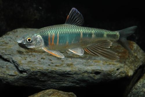 オイカワ 熱帯魚 混泳