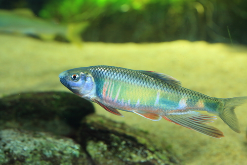 オイカワ ドジョウ 金魚 混泳
