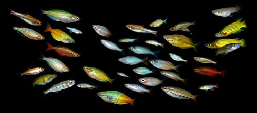 ラスボラ 熱帯魚 種類