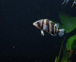 ダトニオ 幼魚 混泳