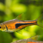 ラスボラエスペイって他の熱帯魚と混泳できる!?