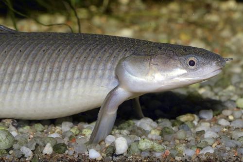 ポリプテルス セネガルス 成長 速度 サイズ