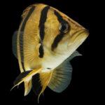 熱帯魚「ダトニオ」!どんな種類がいるの!?