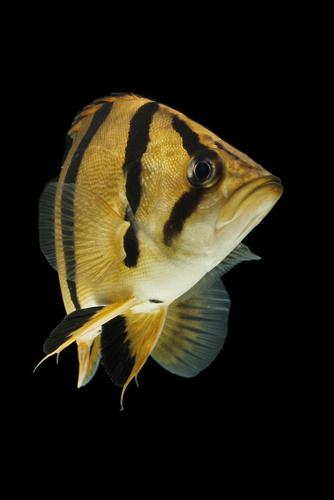 ダトニオ 熱帯魚 種類