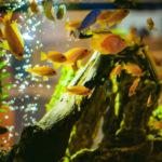 熱帯魚カエルレウスの混泳飼育について!
