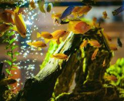 カエルレウス熱帯魚 混泳