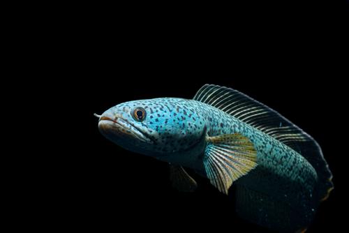スネークヘッド 熱帯魚 病気