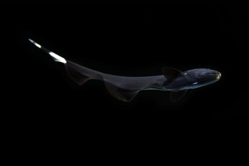 ブラックゴースト 熱帯魚 サイズ
