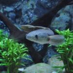 スネークヘッドと混泳できる熱帯魚は何!?