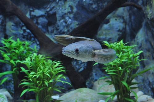スネークヘッド 熱帯魚 混泳