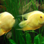 熱帯魚シクリッド!平均寿命はどれくらい!?