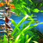 カネヒラの飼育!最適な水草は何?