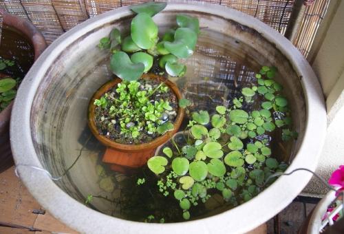 タナゴ ビオトープ 繁殖