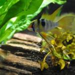 熱帯魚シクリッド!繁殖方法について!