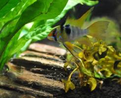 シクリッド 熱帯魚 繁殖