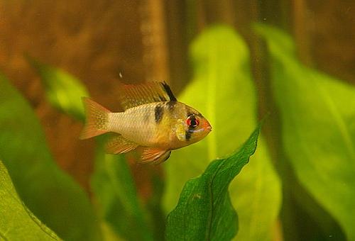 シクリッド 稚魚 餌