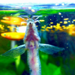 ドジョウと金魚の混泳について!餌は?ドジョウを食べることはある?