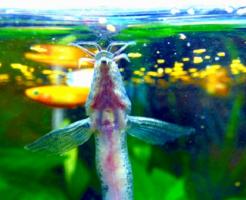 ドジョウ 金魚 混泳 餌 食べる