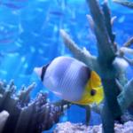 チョウチョウウオはサンゴを食べる?サンゴ水槽で飼育できるの!?