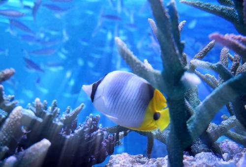 チョウチョウウオ サンゴ 食べる
