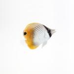 チョウチョウウオの幼魚の飼育!餌は何をあげたら良い!?