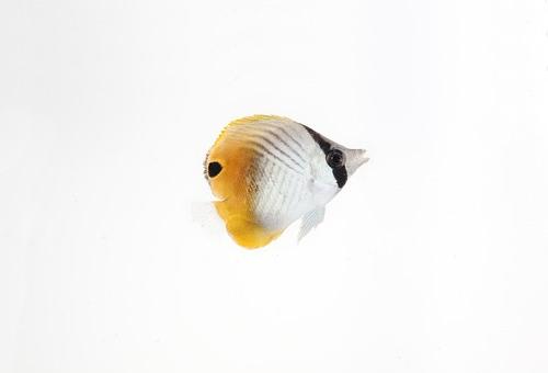 チョウチョウウオ 幼魚 餌